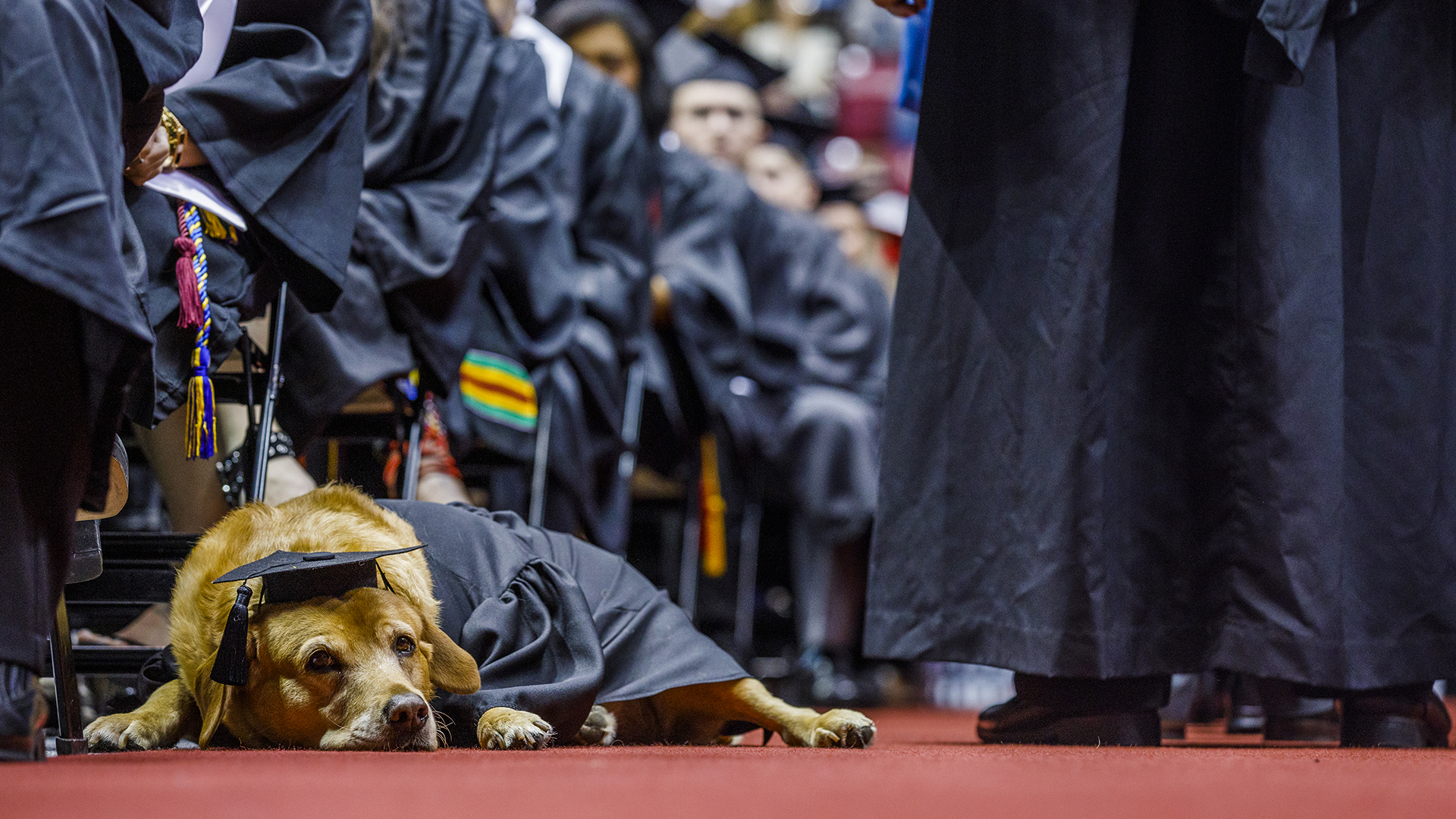 A service dog dressed in graduation robe and cap.